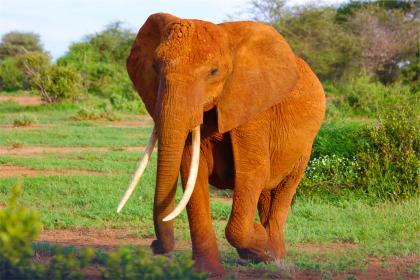 خرطوم فیل ها