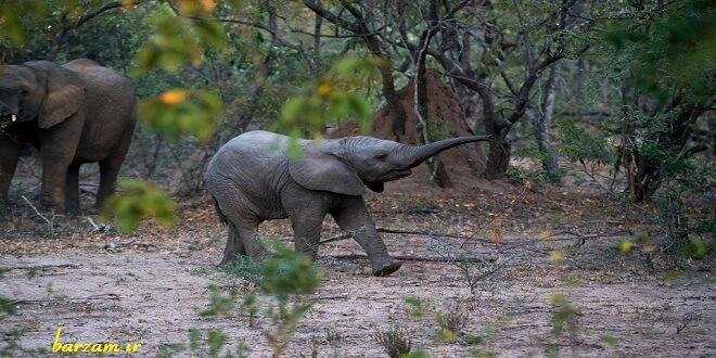 شیپور زدن فیل با خرطوم