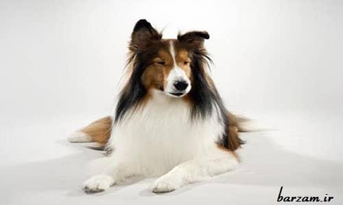 سگ نژاد شتلند شیپداگ