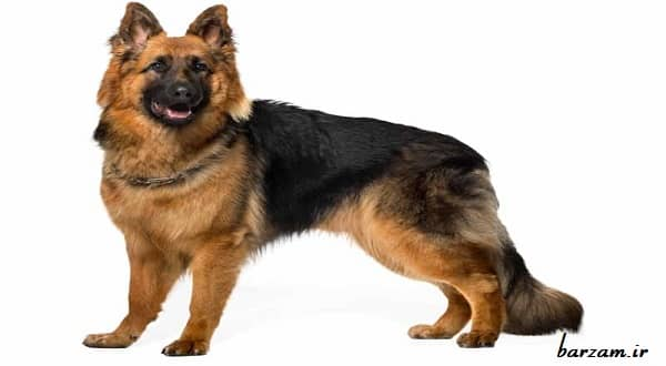 سگ نژاد ژرمن شپرد