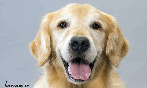 سگ نژاد گلدن رتریور