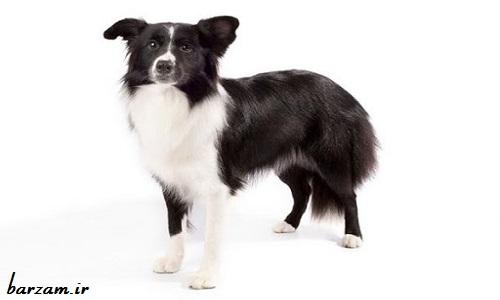 عکس سگ بُردر کالی
