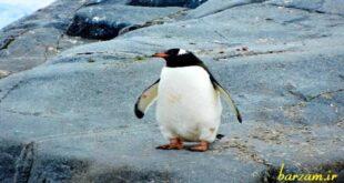 حقایقی درباره ی پنگوئن ها که نمی دانید