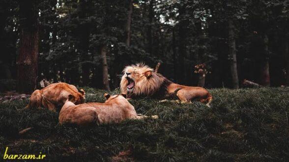 مختصات ظاهری شیر سلطان جنگل