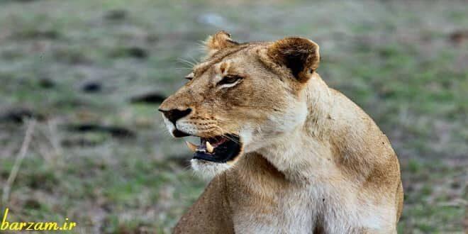 همه چیز درباره شیر سلطان جنگل