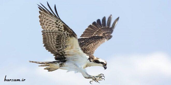 نترس بودن عقاب شگفت انگیز