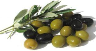 خواص درمانی زیتون سیاه و سبز بر سلامتی